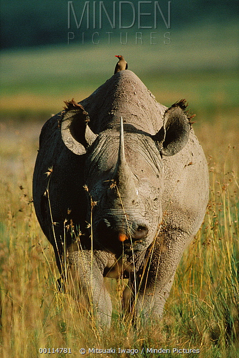 Black Rhinoceros (Diceros bicornis) with Red-billed Oxpecker (Buphagus erythrorhynchus), Serengeti National Park, Tanzania  -  Mitsuaki Iwago