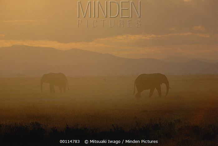 African Elephant (Loxodonta africana) pair at dawn, Ngorongoro Crater, Tanzania  -  Mitsuaki Iwago