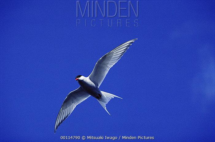 Arctic Tern (Sterna paradisaea) flying overhead, Arctic  -  Mitsuaki Iwago