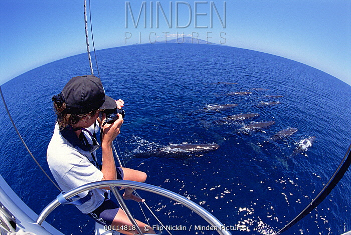 Sperm Whale (Physeter macrocephalus) researcher photographing whale pod  -  Flip Nicklin