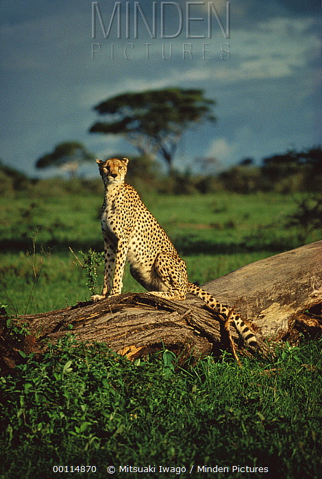 Cheetah (Acinonyx jubatus) resting on log, Serengeti, Tanzania  -  Mitsuaki Iwago