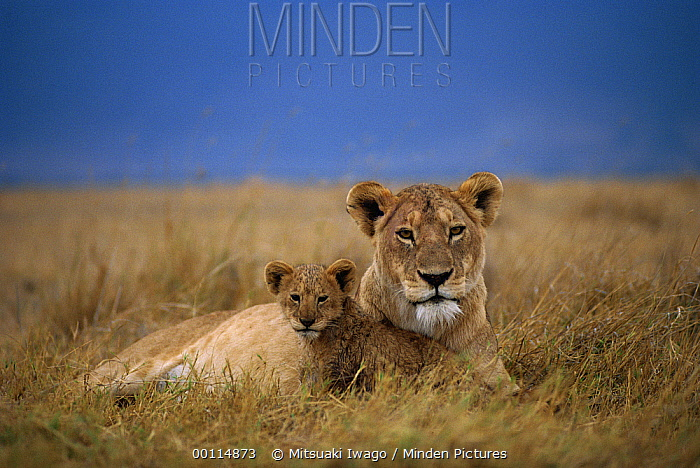 African Lion (Panthera leo) mother and cub at rest, Serengeti National Park, Tanzania  -  Mitsuaki Iwago