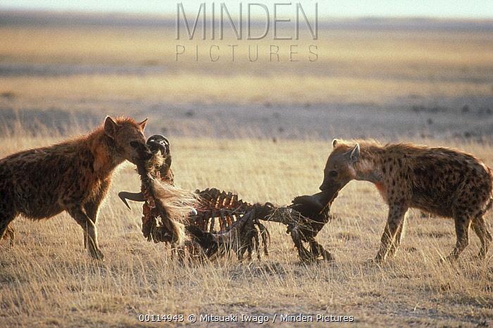Spotted Hyena (Crocuta crocuta) pair fighting over carcass, Serengeti  -  Mitsuaki Iwago