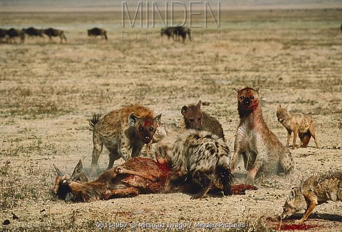 Spotted Hyena (Crocuta crocuta) group feeding on Blue Wildebeest (Connochaetes taurinus) calf, Serengeti  -  Mitsuaki Iwago