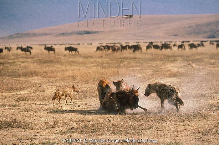 Spotted Hyena (Crocuta crocuta) group attacking Blue Wildebeest (Connochaetes taurinus) calf, Serengeti  -  Mitsuaki Iwago