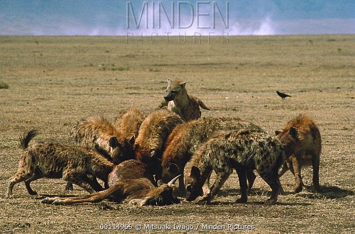 Spotted Hyena (Crocuta crocuta) pack feeding on Blue Wildebeest (Connochaetes taurinus) calf, Serengeti  -  Mitsuaki Iwago