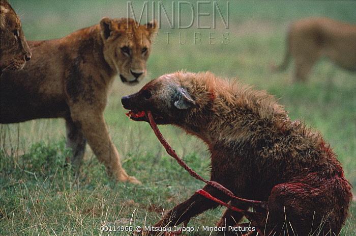 African Lion (Panthera leo) group surrounding wounded Spotted Hyena (Crocuta crocuta), Serengeti National Park, Tanzania  -  Mitsuaki Iwago