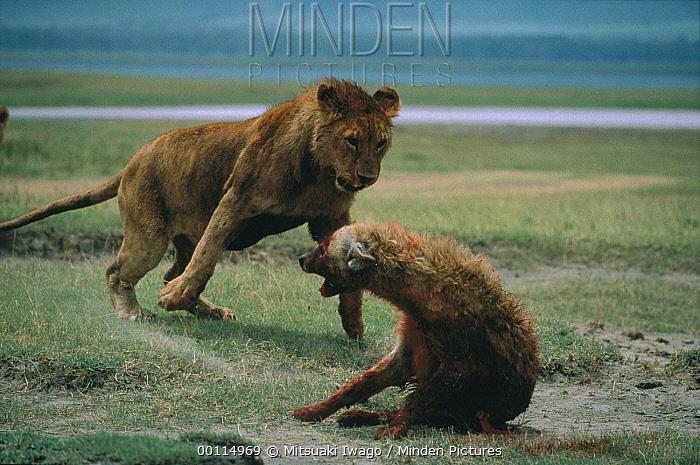 African Lion (Panthera leo) female attacking wounded Spotted Hyena (Crocuta crocuta), Serengeti National Park, Tanzania  -  Mitsuaki Iwago