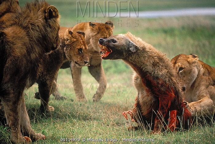 African Lion (Panthera leo) females and young males attacking and eventually killing a Spotted Hyena (Crocuta crocuta), Serengeti National Park, Tanzania  -  Mitsuaki Iwago