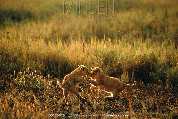 African Lion (Panthera leo) cubs playing, Serengeti National Park, Tanzania  -  Mitsuaki Iwago