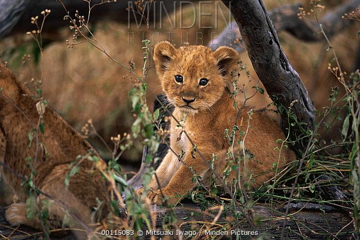 African Lion (Panthera leo) cub portrait, Serengeti National Park, Tanzania  -  Mitsuaki Iwago