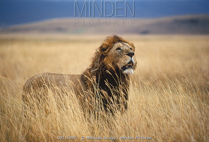 African Lion (Panthera leo) male standing in tall grass looking skyward, Serengeti National Park, Tanzania  -  Mitsuaki Iwago