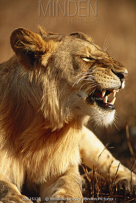 African Lion (Panthera leo) juvenile male snarling, Serengeti National Park, Tanzania  -  Mitsuaki Iwago