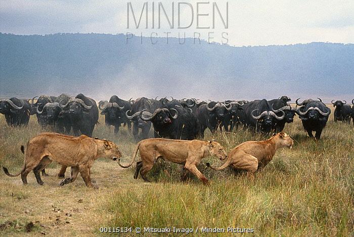 Cape Buffalo (Syncerus caffer) herd chasing African Lion (Panthera leo) females, Serengeti National Park, Tanzania  -  Mitsuaki Iwago