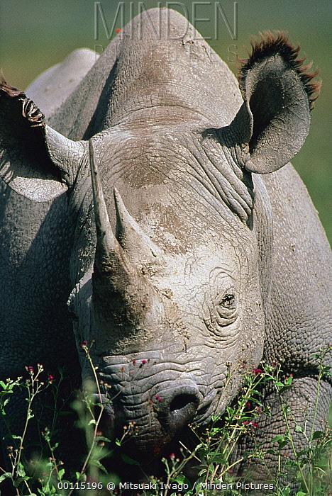 Black Rhinoceros (Diceros bicornis) portrait, Serengeti National Park, Tanzania  -  Mitsuaki Iwago