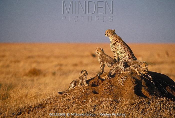 Cheetah (Acinonyx jubatus) mother and cubs resting on a termite mound, Serengeti, Tanzania  -  Mitsuaki Iwago