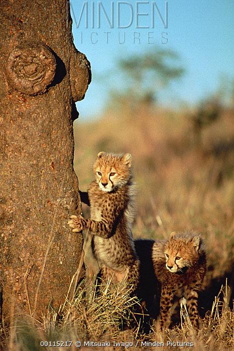 Cheetah (Acinonyx jubatus) cubs hiding behind a tree, Serengeti, Tanzania  -  Mitsuaki Iwago