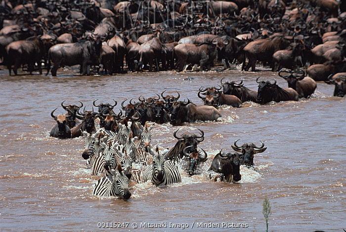 Blue Wildebeest (Connochaetes taurinus) herd with Burchell's Zebra (Equus burchellii) crossing river during migration, Serengeti  -  Mitsuaki Iwago