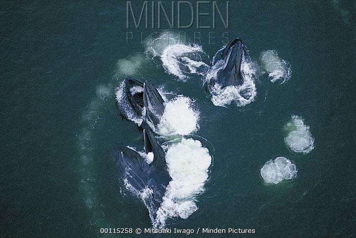 Humpback Whale (Megaptera novaeangliae) group bubble net feeding, Alaska  -  Mitsuaki Iwago