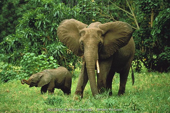 African Elephant (Loxodonta africana) mother and calf, Serengeti National Park, Tanzania  -  Mitsuaki Iwago