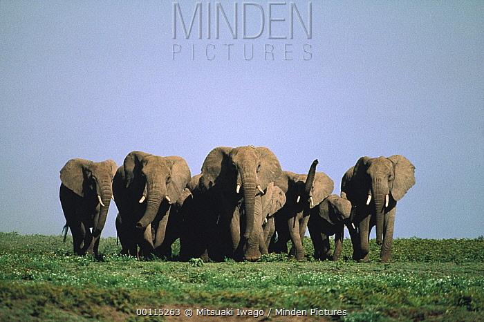 African Elephant (Loxodonta africana) herd on Serengeti National Park, Tanzania  -  Mitsuaki Iwago