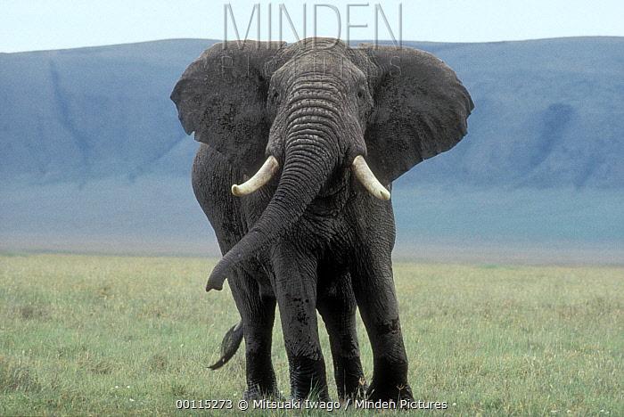 African Elephant (Loxodonta africana) male portrait, Ngorongoro Crater, Tanzania  -  Mitsuaki Iwago