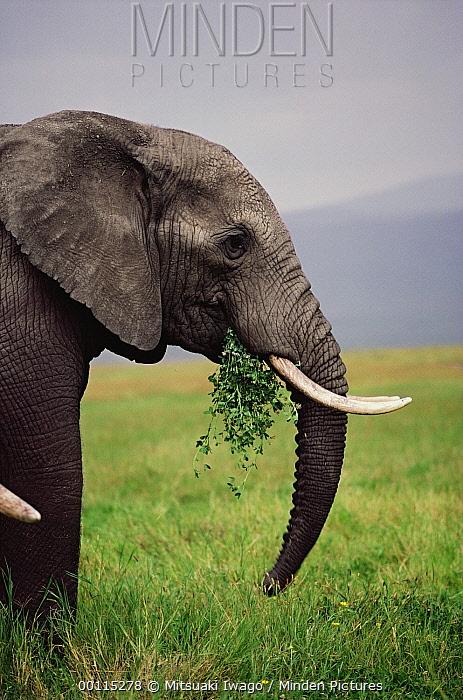 African Elephant (Loxodonta africana) male feeding, Ngorongoro Crater, Tanzania  -  Mitsuaki Iwago