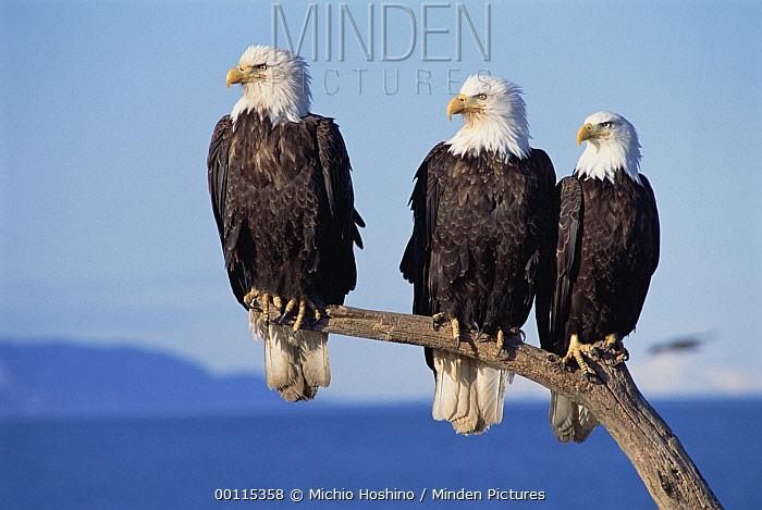 Bald Eagle (Haliaeetus leucocephalus) trio sitting on snag, Alaska  -  Michio Hoshino
