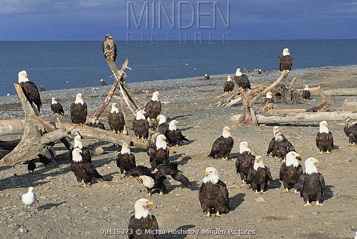 Bald Eagle (Haliaeetus leucocephalus) group, Alaska  -  Michio Hoshino
