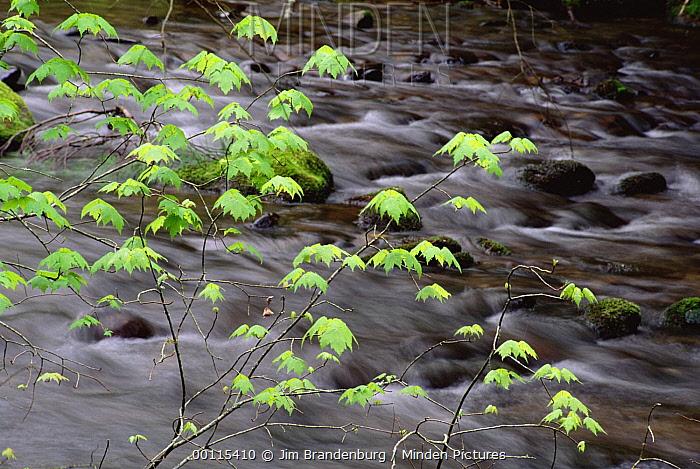 Green leaves over stream, Great Smoky Mountains National Park, North Carolina  -  Jim Brandenburg