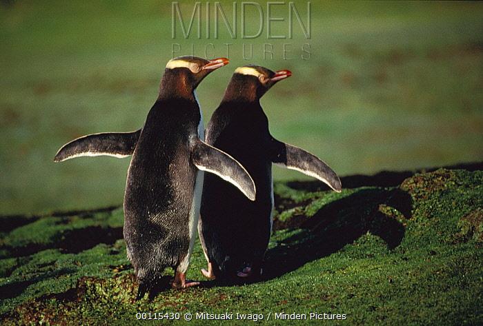 Yellow-eyed Penguin (Megadyptes antipodes) couple courting, Antarctica  -  Mitsuaki Iwago