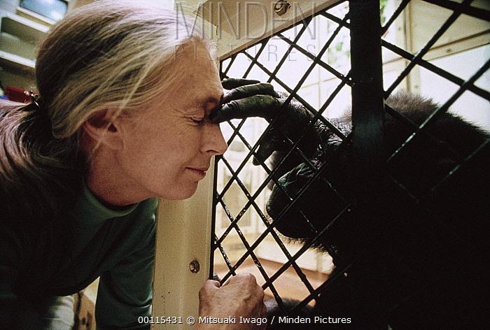 Chimpanzee (Pan troglodytes) in cage visited by Jane Goodall, Gombe Stream National Park, Tanzania  -  Mitsuaki Iwago