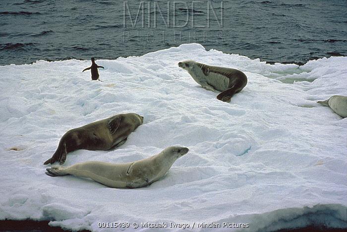 Crabeater Seal (Lobodon carcinophagus) trio resting on ice float, Antarctica  -  Mitsuaki Iwago