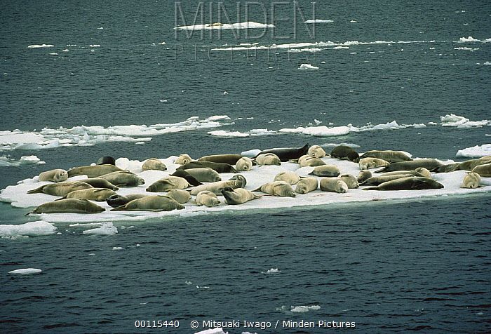 Crabeater Seal (Lobodon carcinophagus) group resting on snow, Antarctica  -  Mitsuaki Iwago