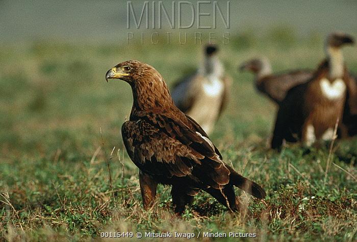 Tawny Eagle (Aquila rapax) portrait, Kenya  -  Mitsuaki Iwago
