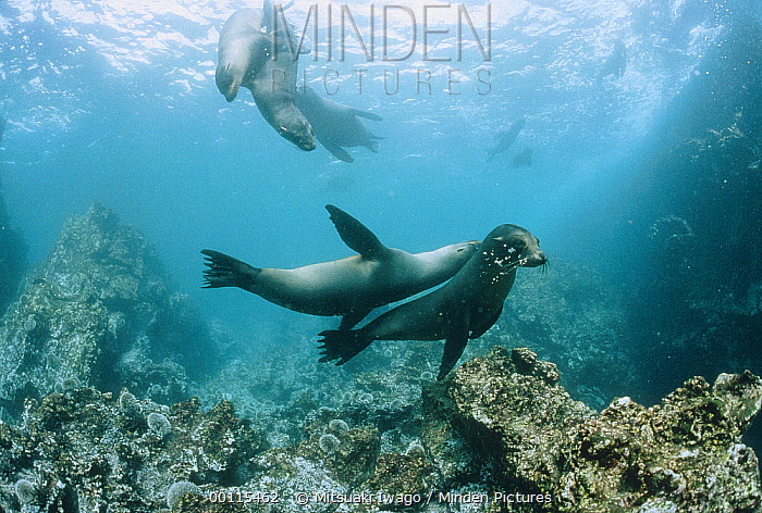 Galapagos Sea Lion (Zalophus wollebaeki) group playing underwater, Galapagos Islands, Ecuador  -  Mitsuaki Iwago
