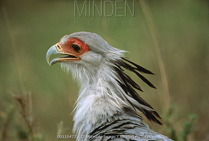 Secretary Bird (Sagittarius serpentarius) portrait, Serengeti National Park, Tanzania  -  Mitsuaki Iwago