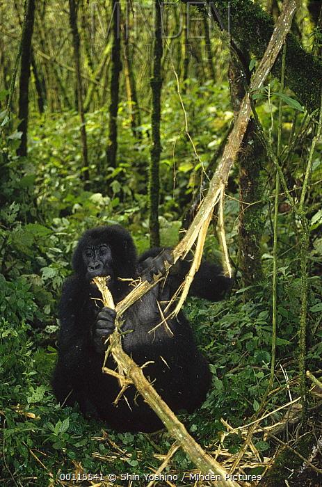 Mountain Gorilla (Gorilla gorilla beringei) feeding on branch, Democratic Republic of the Congo  -  Shin Yoshino