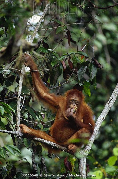 Orangutan (Pongo pygmaeus) feeding in tree, Sepilok Forest Reserve, Sabah, Borneo, Malaysia  -  Shin Yoshino