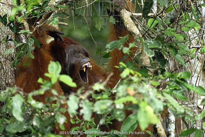 Orangutan (Pongo pygmaeus) male calling from tree, Sepilok Forest Reserve, Sabah, Borneo, Malaysia  -  Shin Yoshino