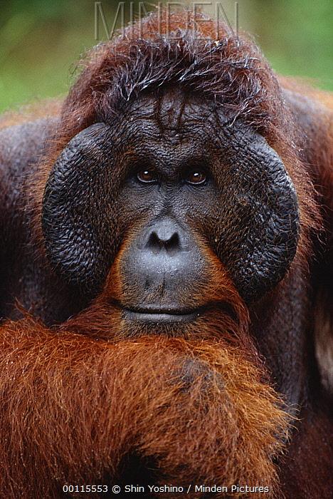 Orangutan (Pongo pygmaeus) male portrait, Sepilok Forest Reserve, Sabah, Borneo, Malaysia  -  Shin Yoshino