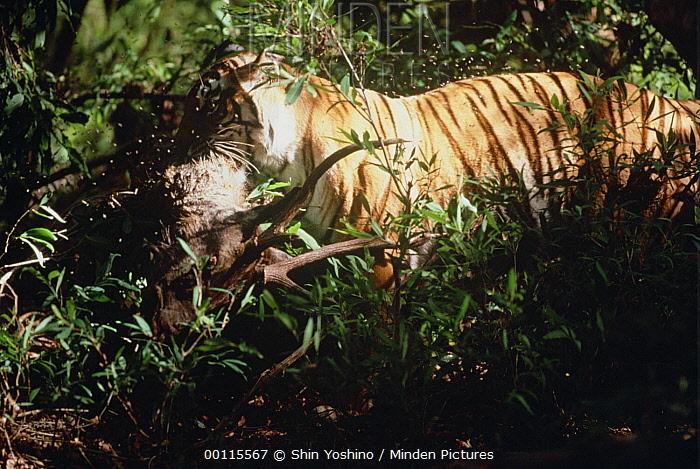 Bengal Tiger (Panthera tigris tigris) carrying the carcass of forest deer, India  -  Shin Yoshino