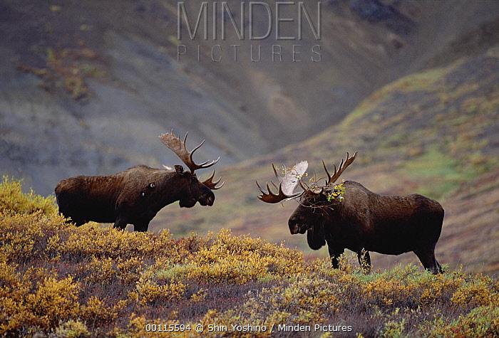 Alaska Moose (Alces alces gigas) two males face off before fighting, Alaska  -  Shin Yoshino