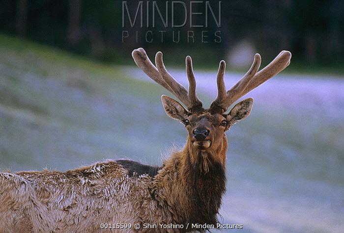 Elk (Cervus elaphus) male portrait showing velvet-covered antlers, North America  -  Shin Yoshino