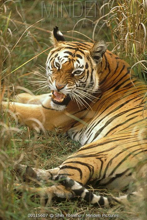 Bengal Tiger (Panthera tigris tigris) growling, India  -  Shin Yoshino