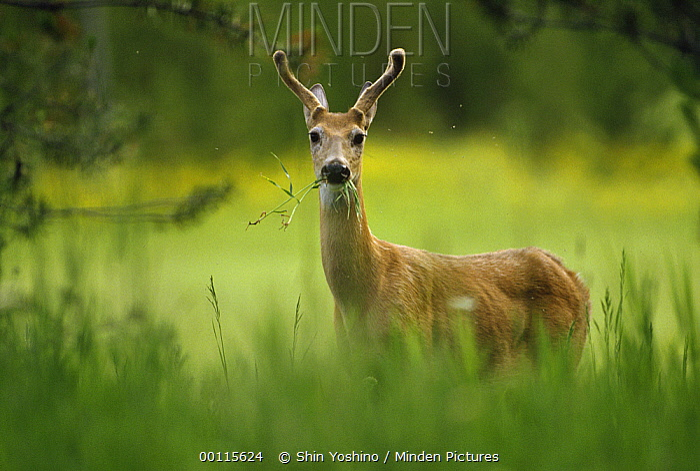 White-tailed Deer (Odocoileus virginianus) grazing in tall grass, North America  -  Shin Yoshino