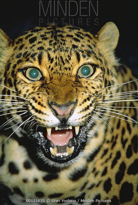 Leopard (Panthera pardus) snarling, Africa  -  Shin Yoshino