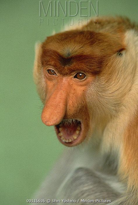 Proboscis Monkey (Nasalis larvatus) calling, Indonesia  -  Shin Yoshino