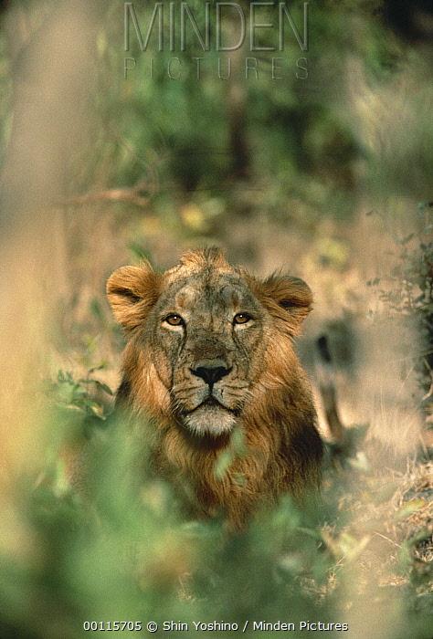 Asiatic Lion (Panthera leo persica) portrait, India  -  Shin Yoshino