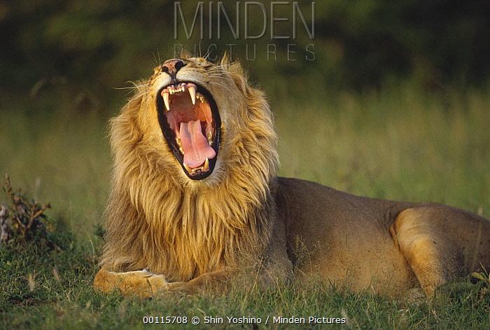 African Lion (Panthera leo) male roaring, Kenya  -  Shin Yoshino